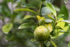 Green lemon wtih raindrops on tree. Close up of green lime or lemon on tree with raindrops dew. Greenery citrus fruits on the branch in farm Stock Images