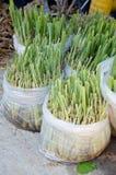 Green lemongrass tree Royalty Free Stock Photography