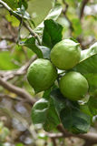 Green lemons. Bunch of green lemons at home Stock Photography