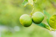 Green lemons growing on a lemon tree in garden Royalty Free Stock Photography