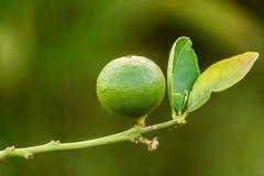 Green lemons growing on a lemon tree in garden Royalty Free Stock Images
