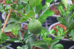Green lemons growing on the tree. Stock Images