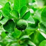 Green lemons Stock Photos