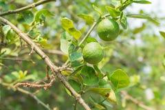 Green lemons hanging on tree Stock Photos