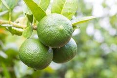 Green lemons hanging on tree Stock Image