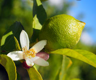 Green lemons hanging on tree, Spain Stock Photos
