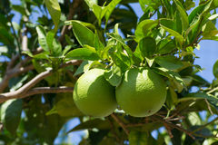 Green lemons Royalty Free Stock Photos