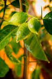 Green lemons, then will be yellow Royalty Free Stock Photography