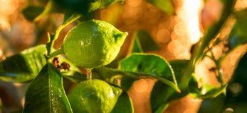 Green lemons, then will be yellow Stock Photo