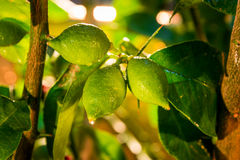 Green lemons, then will be yellow Royalty Free Stock Photo