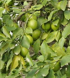 Green lemons on tree Stock Photography