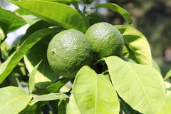 Green lemons on tree stock images