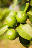 Green lemons on tree. With blur background Stock Photo