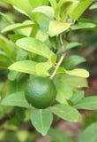Green lemons on tree Royalty Free Stock Images