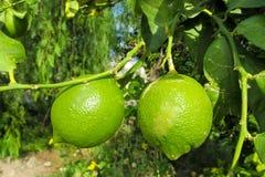 Green lemons on the tree royalty free stock photos