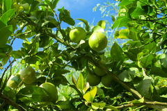 Green lemons on the tree Royalty Free Stock Image