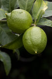 Green lemons on a tree Stock Photography