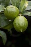 Green lemons on a tree Stock Photography