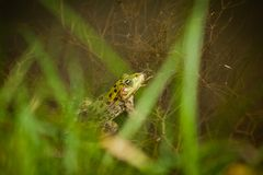 Green leopard frog Royalty Free Stock Photo