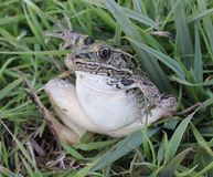 Green leopard frog Stock Photo