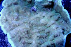 Green Leptoseris Coral. Detail of green leptoseris coral underwater Royalty Free Stock Photo