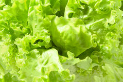 Green lettuce. Background from fresh green lettuce Royalty Free Stock Image