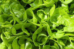 Green lettuce. Image with a culture of green lettuce Royalty Free Stock Photography