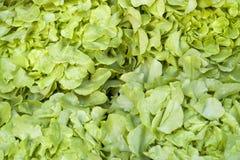 Green lettuce background Stock Image