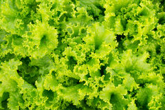 green lettuce background Royalty Free Stock Photography