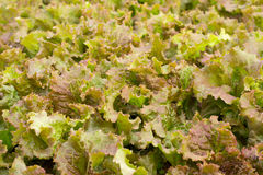 Green lettuce background Stock Image