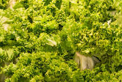 Green Lettuce - Background Stock Image