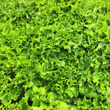 Green lettuce background Stock Photography