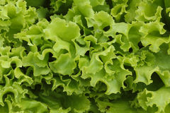 Green lettuce background Royalty Free Stock Images