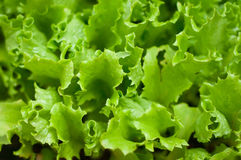 Green lettuce background Stock Photos