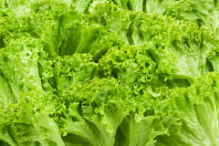 Green lettuce backgrounds Royalty Free Stock Photography