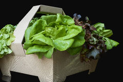 Green lettuce in the basket isolated Stock Image