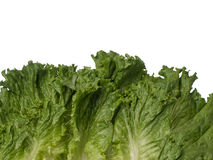 Green lettuce bottom border isolated on white Stock Photography