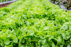 Green lettuce close up Royalty Free Stock Photos
