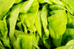Green lettuce, close up. Green fresh lettuce, close up Stock Photos