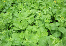 Green lettuce crops in growth Royalty Free Stock Image