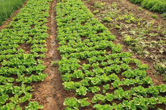 Green lettuce crops in growth Royalty Free Stock Images