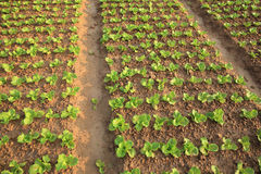 Green lettuce crops in growth Royalty Free Stock Photo