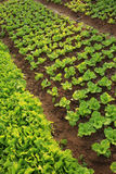 Green lettuce crops in growth Stock Image