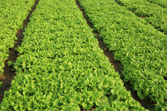 Green lettuce crops in growth Stock Photos