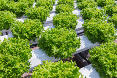 Green lettuce cultivation on hydroponic Royalty Free Stock Images