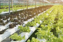 Green lettuce, cultivation hydroponics green vegetable in farm Royalty Free Stock Photos
