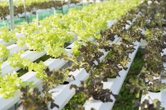 Green lettuce, cultivation hydroponics green vegetable Royalty Free Stock Photo