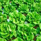 Green lettuce, cultivation hydroponics Royalty Free Stock Photo