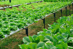 Green lettuce, cultivation hydroponics vegetable Royalty Free Stock Photography