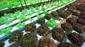 Green lettuce, cultivation hydroponics vegetable Stock Image